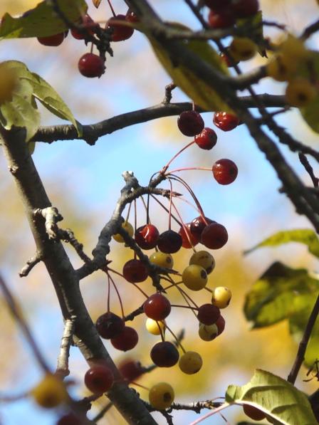 筑波実験植物園 リンゴ属の一種 1
