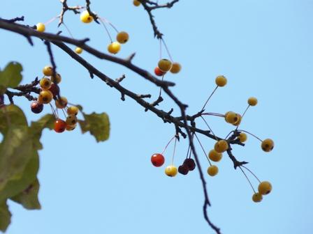 筑波実験植物園 リンゴ属の一種 2