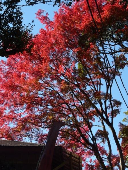 筑波山 ケーブルカー宮脇駅付近の紅葉 2