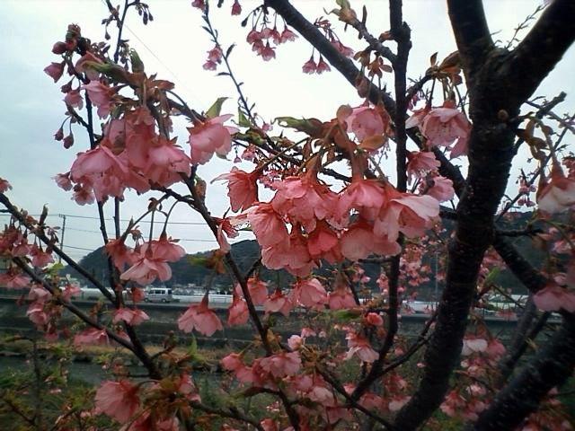 0315河津桜