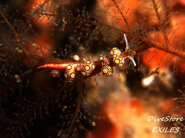 3マツカサウミウシ属の一種3