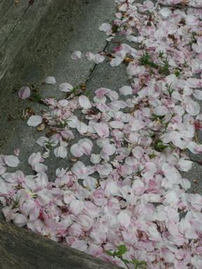 側溝に落ちた花吹雪