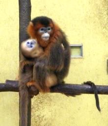 ばんちゃんの旅案内 -日本全国自走の旅--東山動植物園キンシコウ
