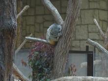 ばんちゃんの旅案内 -日本全国自走の旅--東山動植物園コアラ