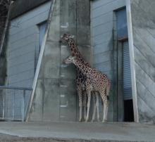 ばんちゃんの旅案内 -日本全国自走の旅--東山動植物園キリン