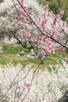 ばんちゃんの旅案内 -日本全国自走の旅--月ヶ瀬梅林