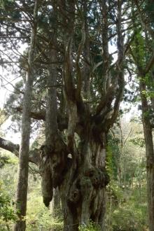 ばんちゃんの旅案内 -日本全国自走の旅--乳房杉