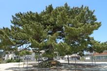 ばんちゃんの旅案内 -日本全国自走の旅--唐傘の松