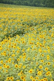 ばんちゃんの旅案内 -日本全国自走の旅--北竜ひまわり畑