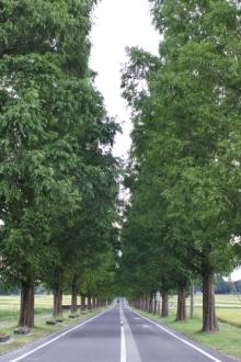 ばんちゃんの旅案内 -日本全国自走の旅--メタセコイヤ並木