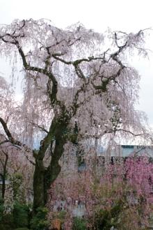 ばんちゃんの旅案内 -日本全国自走の旅--しだれ桜