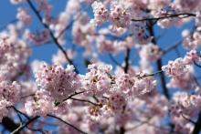 ばんちゃんの旅案内 -日本全国自走の旅--ヒガンザクラ
