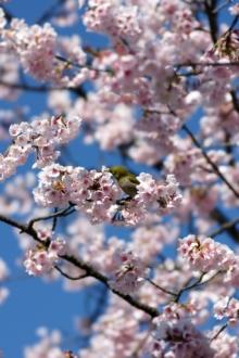 ばんちゃんの旅案内 -日本全国自走の旅--ヒガンザクラとメジロ
