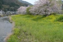 ばんちゃんの旅案内 -日本全国自走の旅--松崎の桜