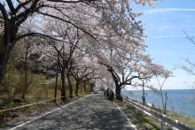 ばんちゃんの旅案内 -日本全国自走の旅--桜のアーチ