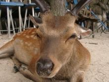 ばんちゃんの旅案内 -日本全国自走の旅--宮島の鹿