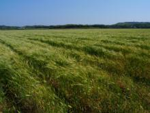 ばんちゃんの旅案内 -日本全国自走の旅--壱岐-麦畑