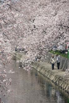 ばんちゃんの旅案内 -日本全国自走の旅--五条川の桜