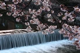 arashiyamasakura.jpg