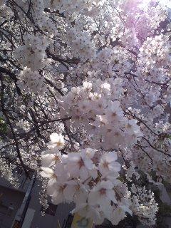 2012sakura-3.jpg