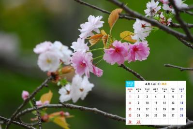 4月 ナラノヤエザクラ-1