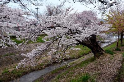佐保川の桜(2)