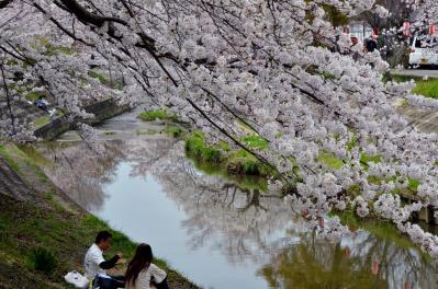佐保川の桜(1)
