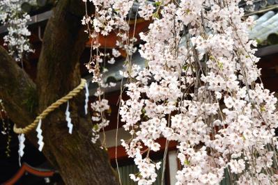 氷室の桜 (2)
