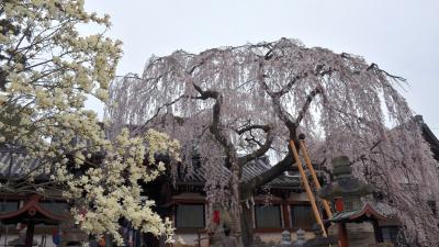 氷室の桜 (1)