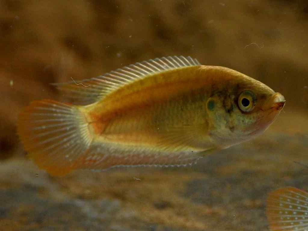 버들붕어(ボドゥルブンオ 和名チョウセンブナ Macropodus ocellatus)