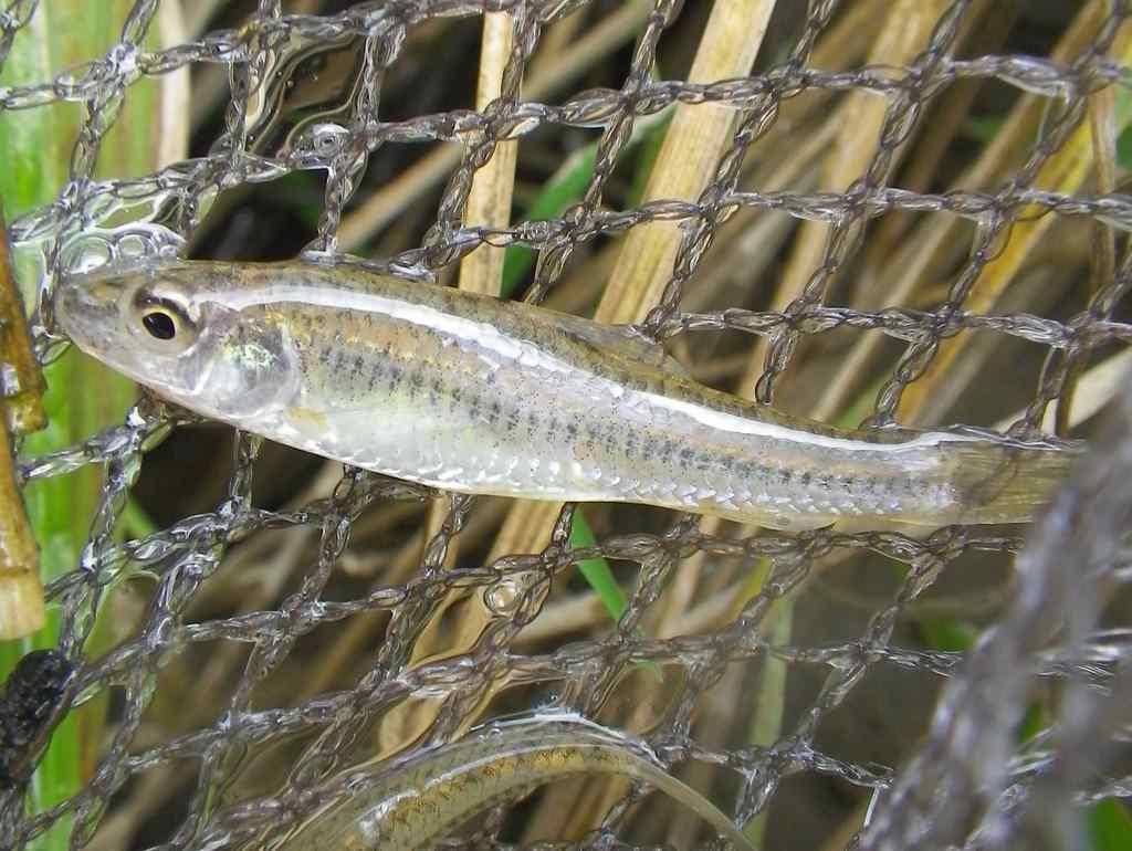긴몰개(ギンモルゲェ 和名ホソモロコ Squalidus gracilis majimae)