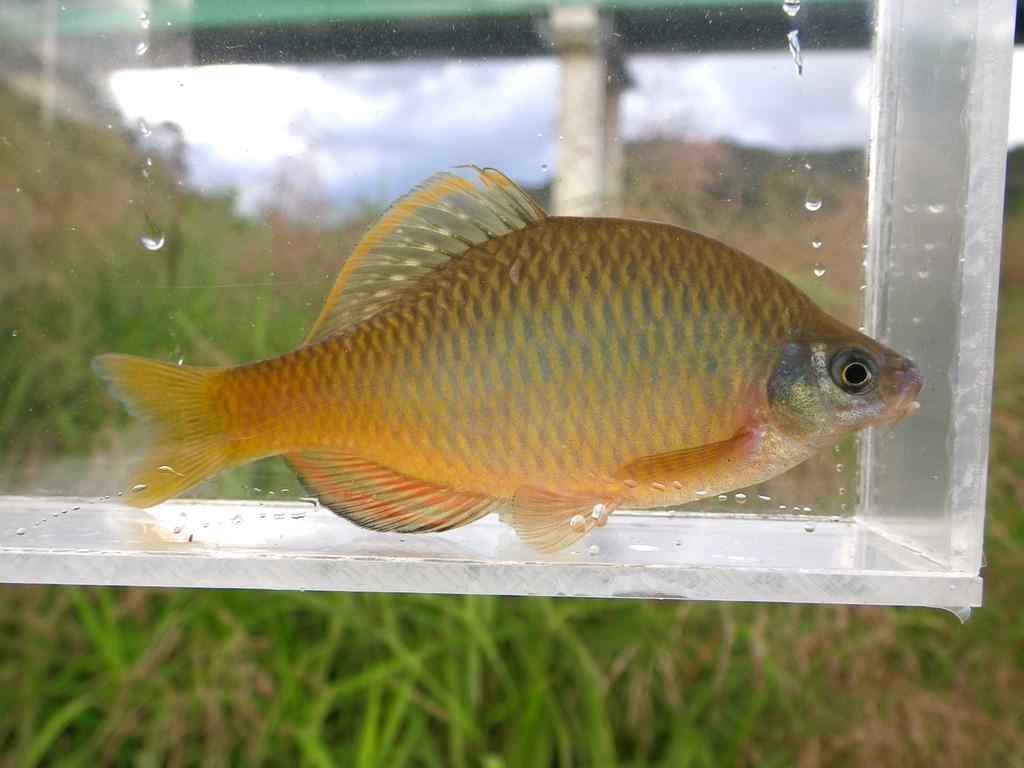 칼납자루(カルラプジャールー 和名コウライポテ Acheilognathus koreensis)