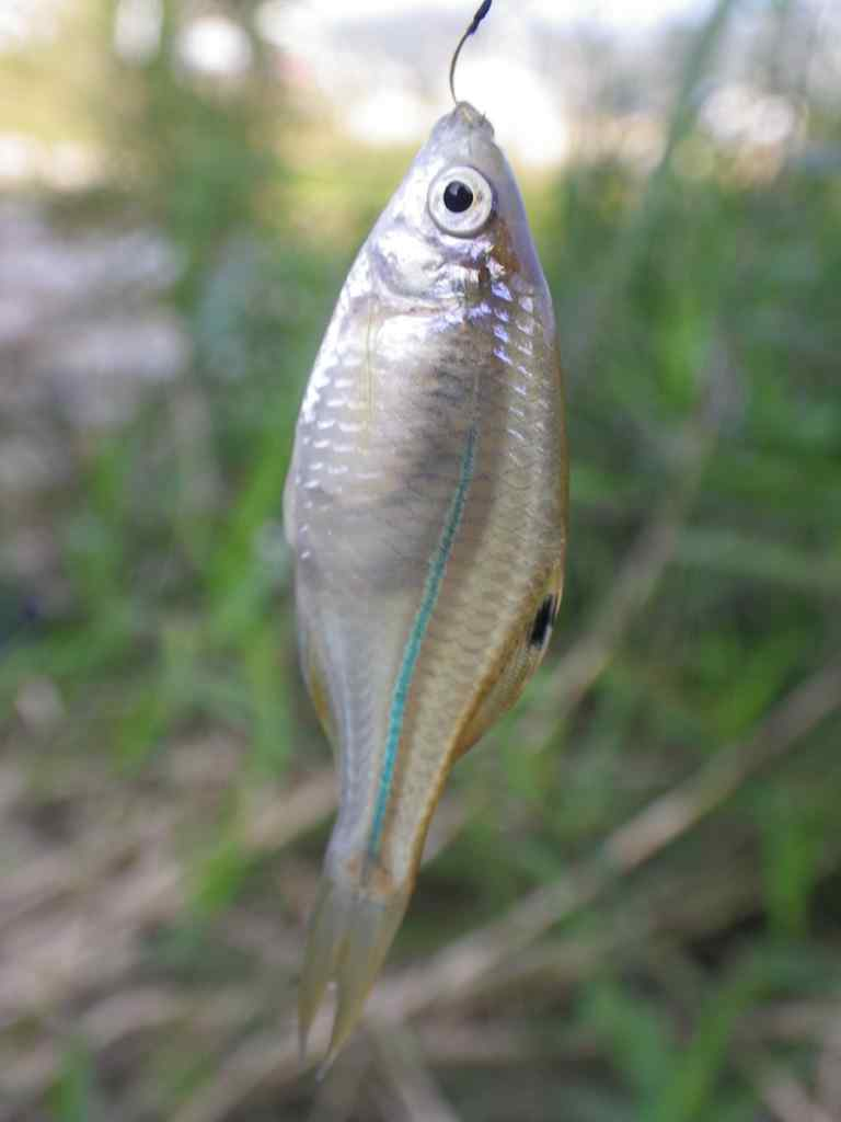 떡납줄갱이(ットクナプジュルゲンイ 和名カラゼニタナゴ Rhodeus notatus)