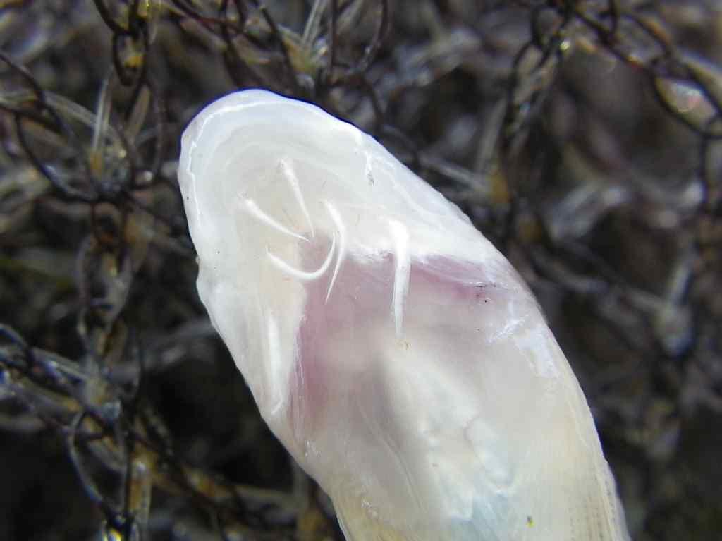 흰수마자(フィンスマジャ 和名シラヒゲカマツカ Gobiobotia naktongensis)