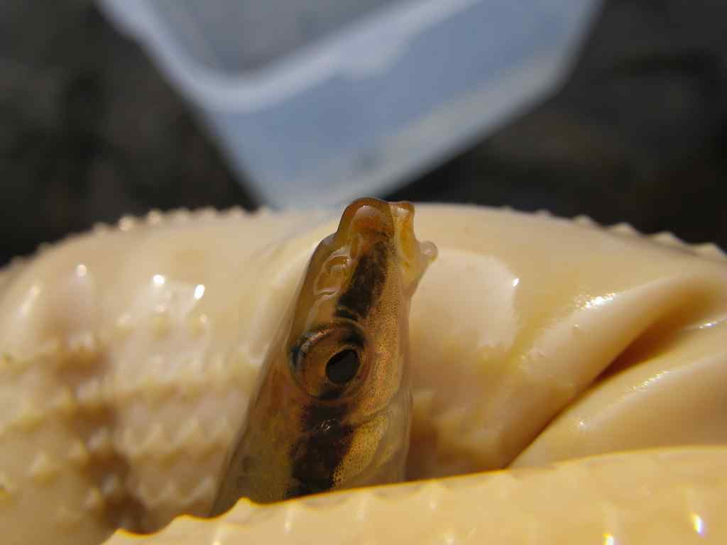 가는돌고기(カヌントルコギ 和名ホソムギツク Pseudopungtungia tenuicorpa)