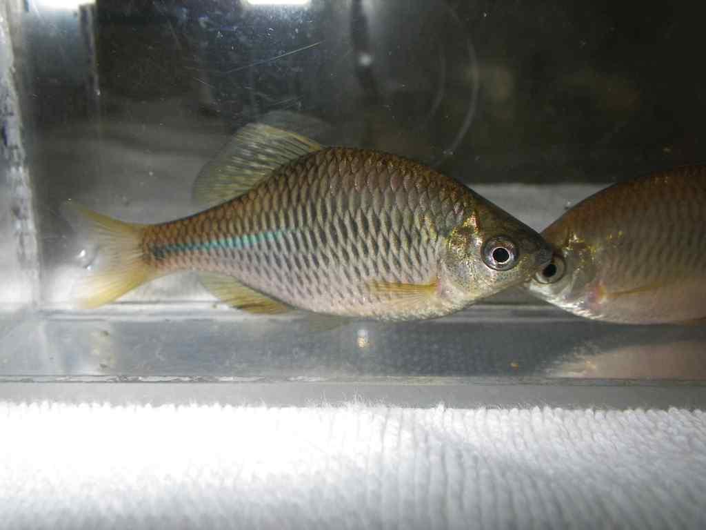 한강납줄개(ハンガンナプジュルゲェ 漢江납줄개 和名ニセヨーロッパタナゴ Rhodeus pseudosericeus)