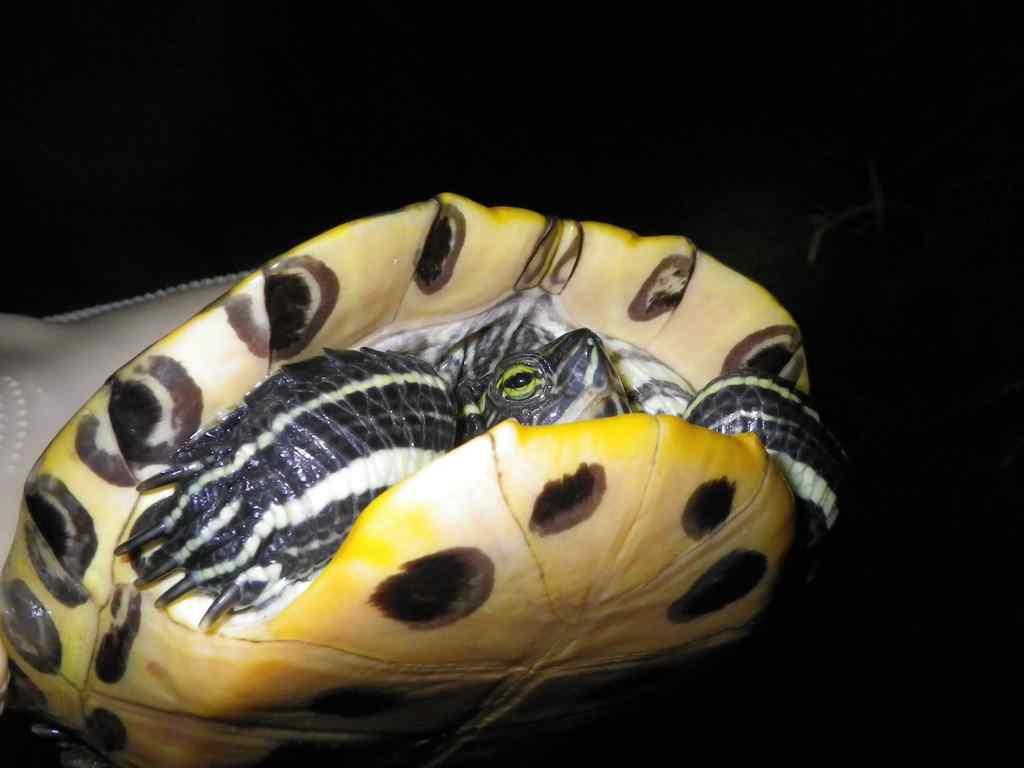 붉은귀거북(プルグングィゴブク 和名ミシシッピアカミミガメ Trachemys scripta elegans)