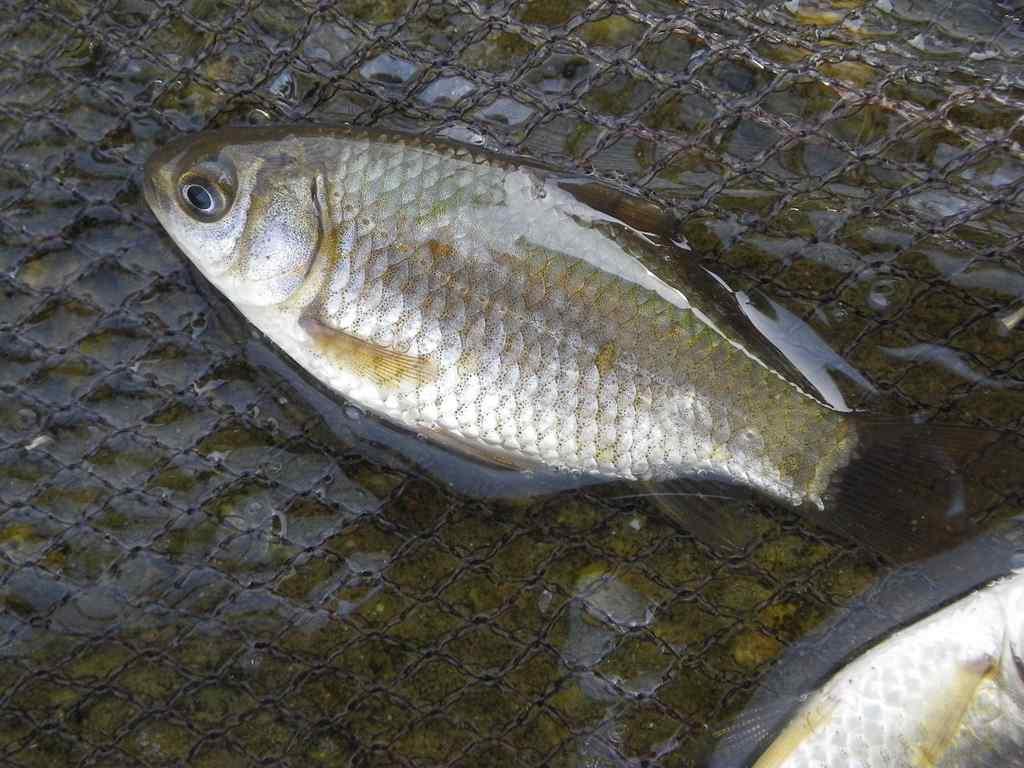 붕어(ブンオ 鮒魚 和名フナ Carassius auratus)