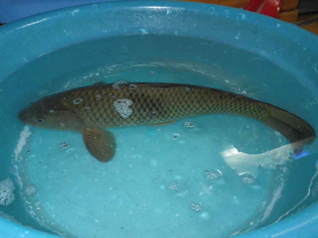 잉어(インオ 鯉魚 和名コイ Cyprinus carpio)