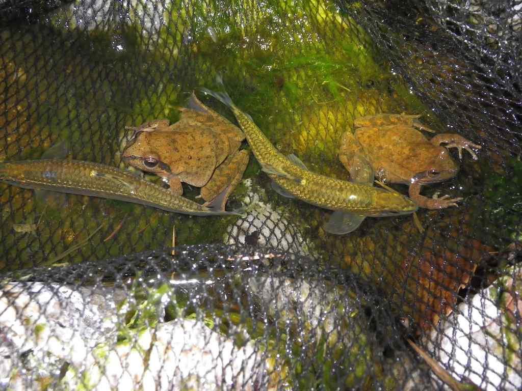쉬리(シュイリ 和名ヤガタムギツク シュリ Coreoleuciscus splendidus)