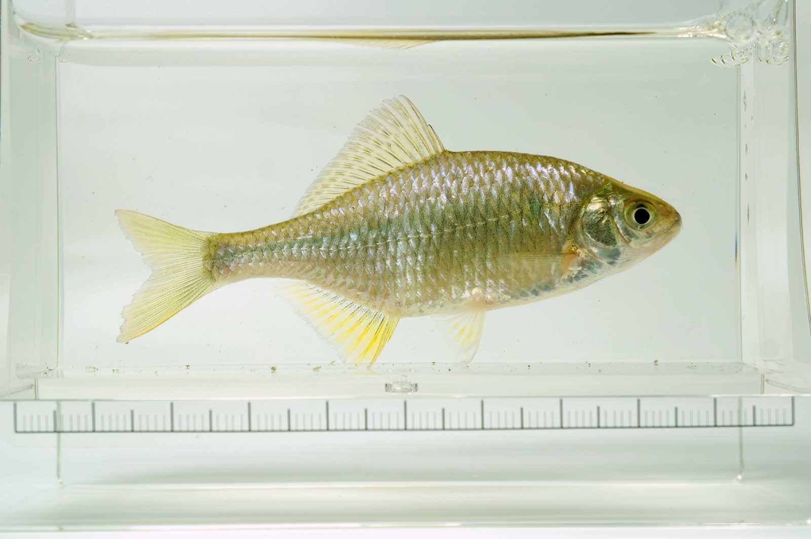 가시납지리(ガシナプジーリー 和名チョウセントゲタナゴ コウガイタナゴ Acanthorhodeus gracilis → Acheilognathus chankaensis)