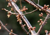 蜂須賀桜の蕾