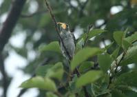 コサメビタキ幼鳥
