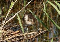 オオバン幼鳥