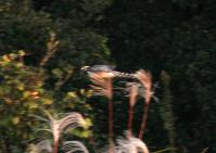 オオタカ成鳥