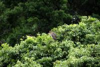 ゴイサギ幼鳥