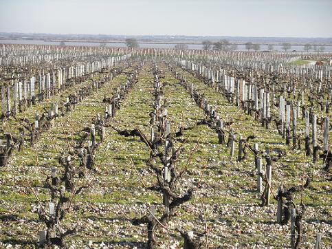 Vigno qui donne sur Garonne