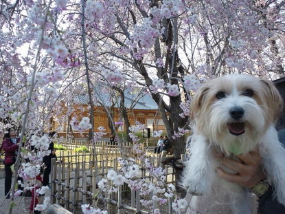 弘法寺のしだれ桜