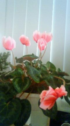 シクラメン 開花