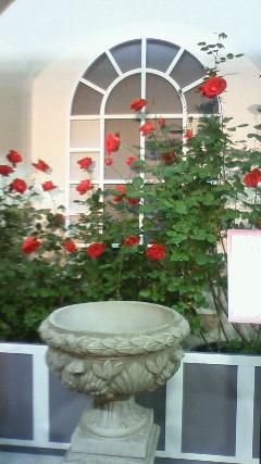 ベルサイユのバラ(ひき)
